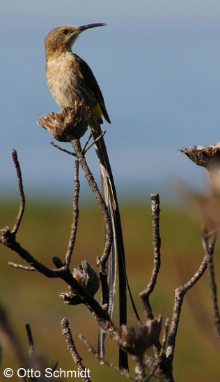 Cape Sugarbird on a Birding Africa day trip © Otto Schmidt;
