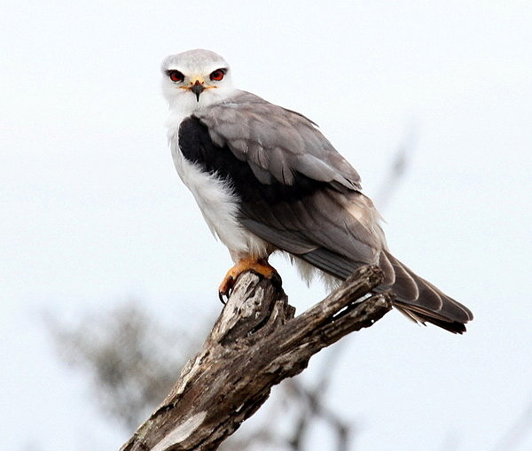 Black-shouldered Kite © Otto Schmidt <br> www.birdingafrica.com