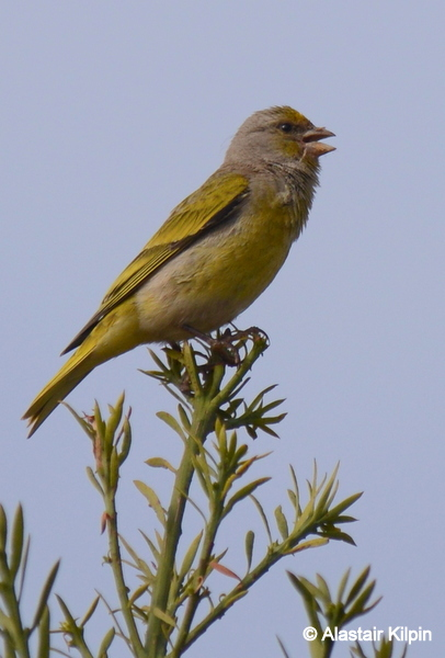Cape Canary on a Birding Africa day trip © Alastair Kilpin