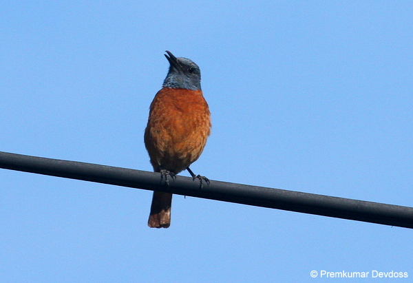Cape Rock-thrush © Premkumar Devdoss during a Birding Africa Hottentot's Holland day trip