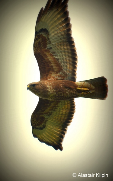 'Mystery' Buzzard on a Birding Africa day trip © Alastair Kilpin