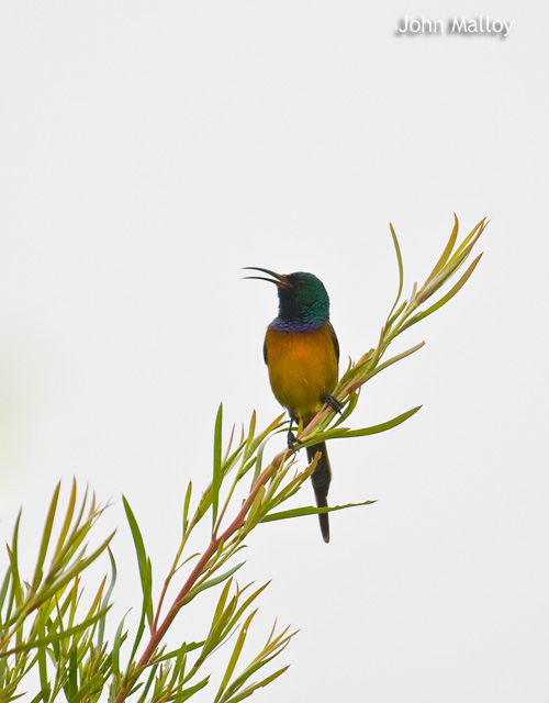 Orange-breasted Sunbird © John Malloy