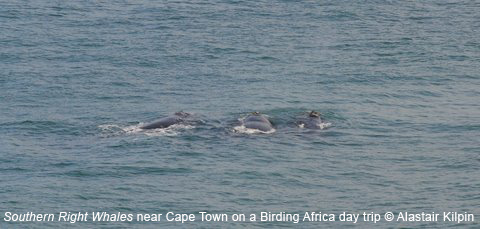 Southern Right Whales (c) Alastair Kilpin on a BIrding Africa day trip