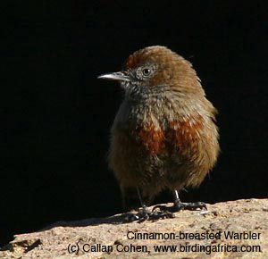 Cinnamon-breasted Warbler photographed by Callan Cohen. See this Cape endemic bird on a Birding Africa trip from Cape Town