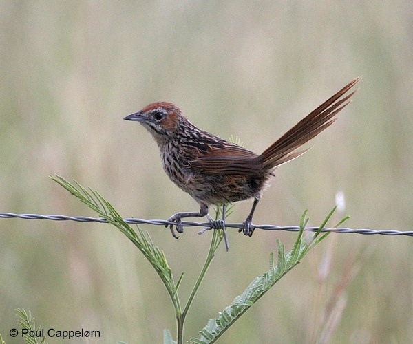 Cape Grassbird © Poul Cappelørn seen on the Garden Route with Birding Africa.