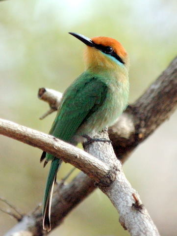 Boehm's Bee-eater photographed at Liwonde National Park on a Malawi tour © Jon Hemp