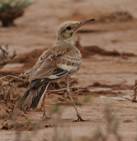 Greater Hoopoe Lark on a Somaliland and Djibouti tour with Birding Africa © Callan Cohen & MIchael Mills, www.birdingafrica.com