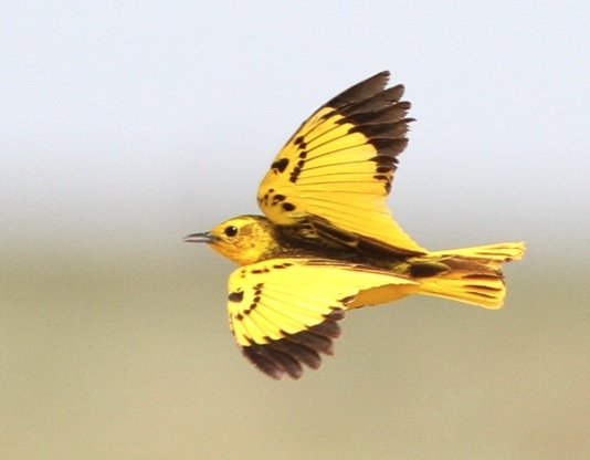 Golden Pipit on a Somaliland and Djibouti tour with Birding Africa © Callan Cohen & MIchael Mills, www.birdingafrica.com